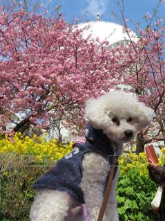 犬,自然,風景,花,春,桜,絶景,屋外,ピンク,菜の花,花見,お花見,トイプードル,愛犬,フォトジェニック