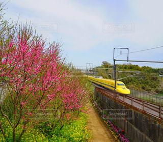 自然,風景,花,春,絶景,屋外,菜の花,新幹線,ドクターイエロー,草木