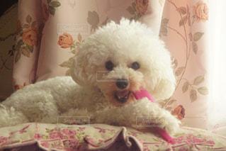 ぬいぐるみの上に座っている犬の写真・画像素材[2441077]
