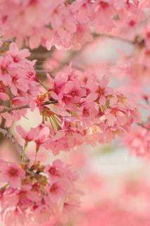 ピンク,満開,桃色,さくら