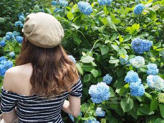 紫陽花,梅雨,6月,明月院