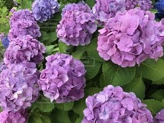 花,屋外,あじさい,鮮やか,紫陽花,梅雨,東別院,6月