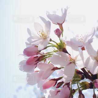 空,花,春,桜,屋外,ピンク,植物,日中