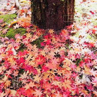 秋色の絨毯の写真・画像素材[1538063]