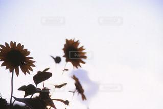 空,花,屋外,白,向日葵,フィルム,ホワイト