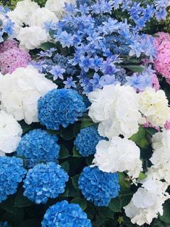 紫陽花の花束の写真・画像素材[2038869]