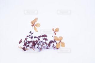 雪の絨毯に咲く枯れ花の写真・画像素材[1675996]