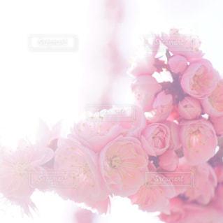 紅梅の木の写真・画像素材[3016033]