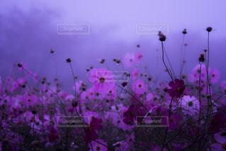 紫色の花一杯の花瓶の写真・画像素材[814465]