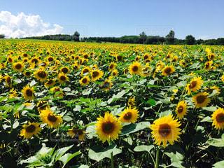 フィールド内の黄色の花の写真・画像素材[880425]