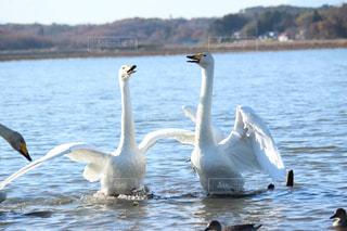 白,白鳥,渡り鳥,沼,ラムサール条約