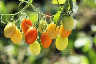 食べ物,トマト,野菜,ミニトマト,食品,食材,フレッシュ,ベジタブル