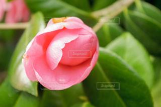 花,ピンク,綺麗,水,水滴