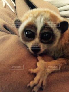 動物,かわいい,茶色,動物園,目,つぶらなひとみ,スローロリス,クリクリおめめ