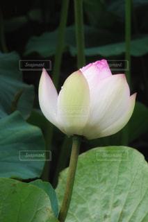 蓮子の花、はすの花の写真・画像素材[1368788]