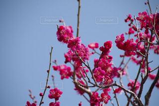 木からぶら下がっている赤い花の写真・画像素材[1122129]