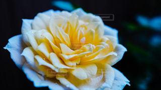 花の写真・画像素材[599031]
