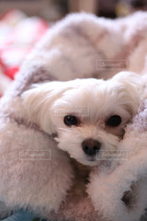 眠たそうにしている犬の写真・画像素材[997515]