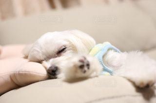 ベッドの上に横たわる犬の写真・画像素材[997516]
