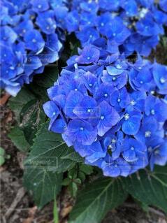 紫陽花の写真・画像素材[4566644]