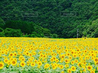 ひまわり 黄色 ひまわり畑 夏 花畑の写真・画像素材[598988]