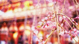 浅草寺の桜 2018年4月の写真・画像素材[1151942]