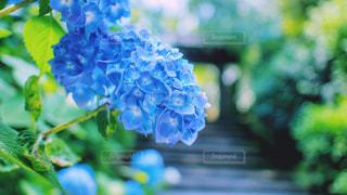 青,紫陽花,梅雨,6月
