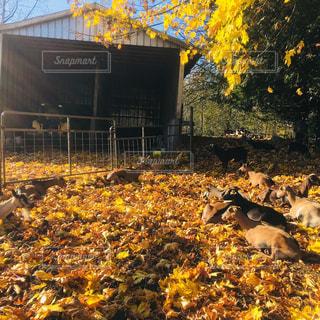 自然,秋,黄色,落ち葉,旅,ヤギ