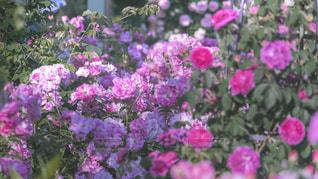 薔薇の写真・画像素材[2161994]
