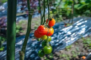 トマト栽培の写真・画像素材[4904340]