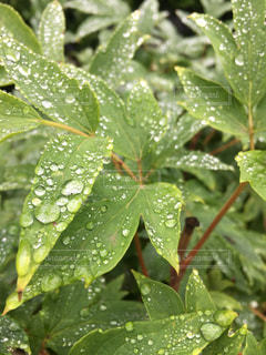 雨,緑,水,葉っぱ,水滴,葉,梅雨,天気,草木,雨の日