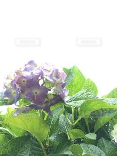 花,雨,緑,白,紫,水滴,葉,紫陽花,梅雨,天気,草木,雨の日,アジサイ