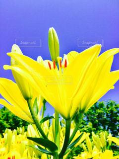 黄色の写真・画像素材[599443]