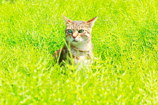緑の野原に座って猫の写真・画像素材[1164272]