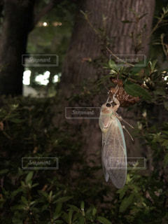 公園で蝉の羽化の写真・画像素材[1428929]