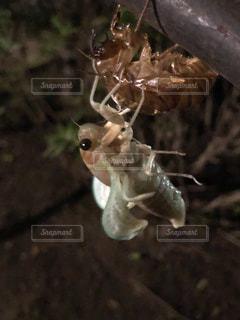 蝉の羽化の写真・画像素材[1428952]