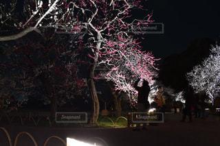 自然,夜,梅,幻想的,花見,ライトアップ,一眼,梅祭り