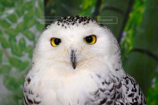 動物,鳥,目,ミミズク,鳥類,フクロウ,シロフクロウ