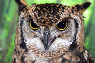 動物,鳥,目,鳥類,ワシ,フクロウ,ベンガルワシミミズク