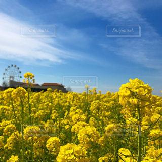 フィールド内の黄色の花の写真・画像素材[1041744]