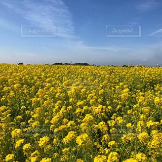 フィールド内の黄色の花の写真・画像素材[1041746]