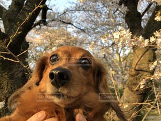 犬桜の写真・画像素材[1832341]