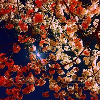 春,桜,花見,夜桜