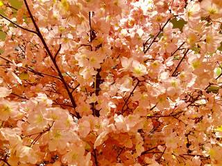 造られた桜の写真・画像素材[1859195]