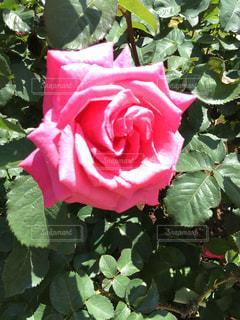 庭の赤いバラ - No.845176