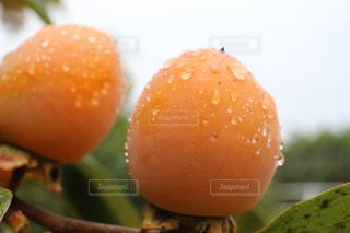 小雨に濡れてる柿の実の写真・画像素材[832647]