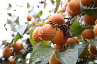 小雨に濡れてる柿の実の写真・画像素材[832649]