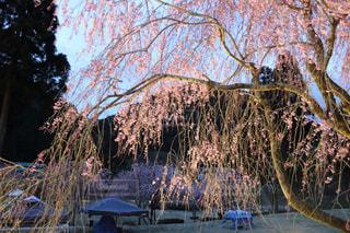 竹田の里のしだれ桜の写真・画像素材[1135355]