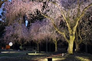 風景,桜,夜桜,ライトアップ,福井県,竹田,坂井市