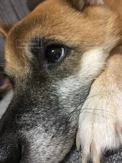 犬,柴犬,目